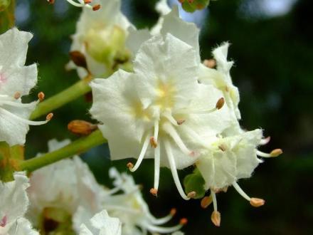 marronnier_fleurs