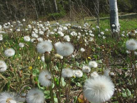 tussilage_fleurs_fructifiées