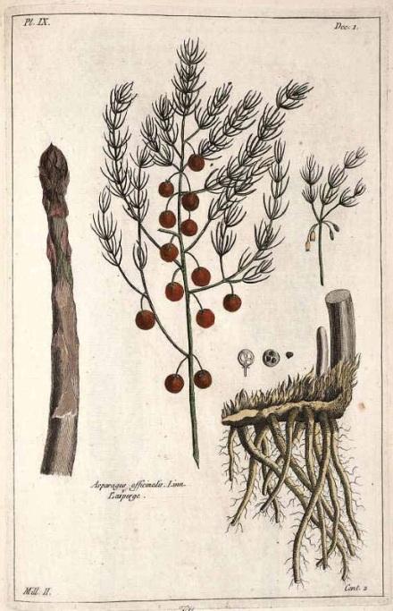 A gauche, le turion ; au centre, l'inflorescence ; à droite, la griffe.