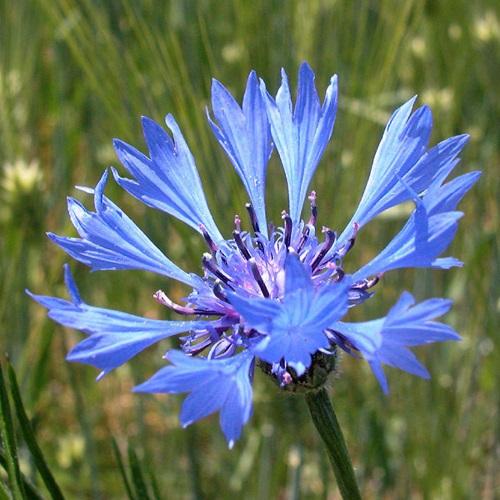 Le bleuet des champs centaurea cyanus books of dante - Coloriage fleur bleuet ...