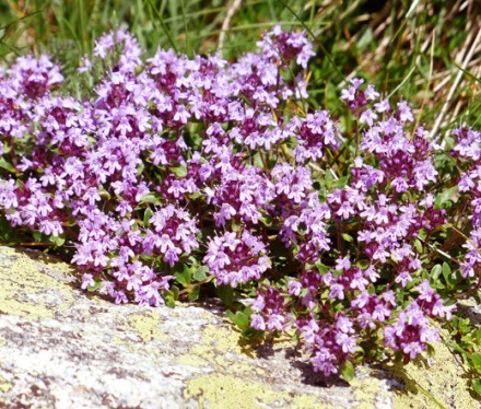 serpolet_fleurs