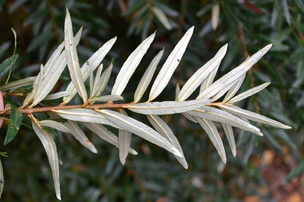 Les plantes books of dante for Faux olivier arbre