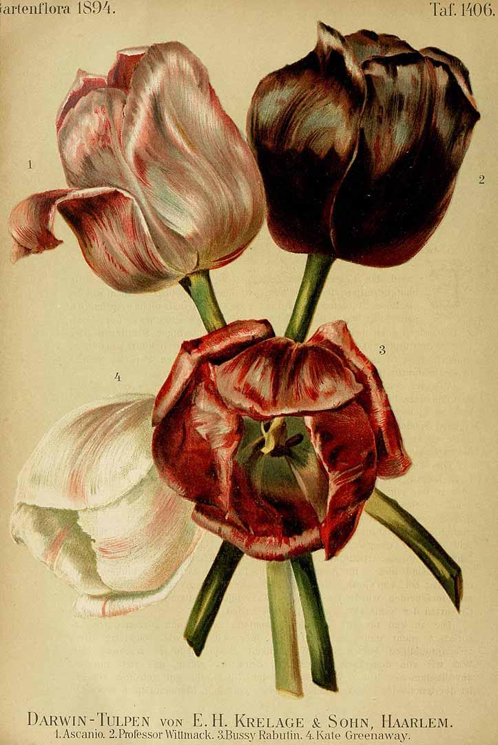 bulbe tulipe krach